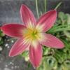 บัวดินพิงค์เลดี้ - Zephyranthes Pink Lady