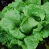 ผักสลัดเว็บบ์วันเดอร์ฟูล - Webbs Wonderful Lettuce