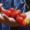 มะเขือเทศไฮบริกซ์ F1 - Hy-Brix Tomato F1 (หวาน 10 Brix+)