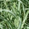 หญ้าริบบิ้นด่าง - Phalaris arundinacea Variegata Grass