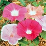 มอร์นิ่งกลอรี่นิลคละสี - Nil Morning Glory Mixed
