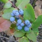 ออริกอนโฮลี่เกรป - Oregon Holly Grape