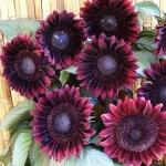 ทานตะวันโปรคัทสีแดง - Procut Red Sunflower (พันธุ์ตัดดอก)