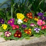 พริมูล่าอะควอลิสคละสี - Mixed Primula acaulis