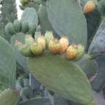 พริคลี่แพร์ผลสีเหลือง - Yellow fruit Prickly Pear