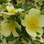 กุหลาบเลื้อยสีเหลือง - Yellow Climbing rose