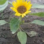 ทานตะวันอเมริกันต้นเตี้ย - Dwarf American Sunflower
