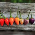 พริกสายรุ้งโบลิเวีย - Bolivian Rainbow Pepper