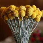 ดอกคราสพีเดียแห้ง - Dried Craspedia