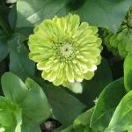 บานชื่นสีเขียว - Envy Zinnia