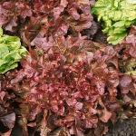 ผักสลัดโบลแดง - Red Salad Bowl Lettuce
