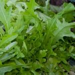 ผักสลัดใบโอ๊ค - Oak Leaf Lettuce