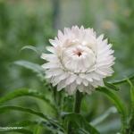 ดอกกระดาษสีขาว - White Strawflower
