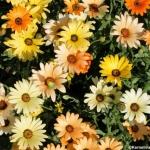 เดซี่แอฟริกันคละสี - Mixed African Daisy