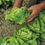 ผักสลัดออเยียร์ราวด์ - All Year Round Lettuce