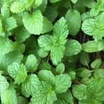 มินต์ - Green Mint