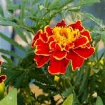 ดาวเรืองฝรั่งเศสโบรเคดสีแดง - Double Brocade Red French Marigold