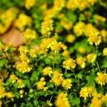 เก๊กฮวยป่าสีเหลือง - Chrysanthemum indicum