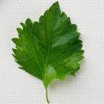 ชิโสะใบเขียว - Green Perilla