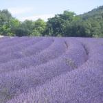 ลาเวนเดอร์ - Lavender