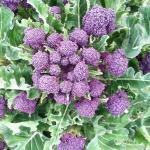 บรอกโคลี่ดอกสีม่วง - Purple Sprouting Broccoli