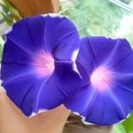 มอร์นิ่งกลอรี่บลูวิล - Blue Wheel Morning Glory