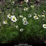 คาโมมายล์โรมัน (หญ้าหอม) - Roman Chamomile