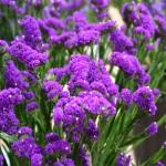 สแตติสสีม่วง - Purple Statice