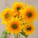 ทานตะวันกรีนเบิร์ส - Greenburst Sunflower