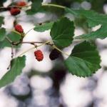 หม่อนรัสเซีย - Russian Mulberry