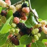 ต้นหม่อนทานผล (สายพันธุ์นำเข้า) - Mulberry