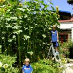 ทานตะวันอเมริกันไจแอ้นท์ - American Giant Sunflower