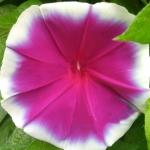 มอร์นิ่งกลอรี่เรดโรสวิล - Red Rose Wheel Morning Glory