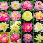 ดอกบัวหลวงคละสี - Mixed bowl Lotus
