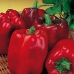พริกหวานสีแดง - Yolo Wonder L Pepper