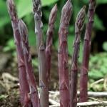 รากหน่อไม้ฝรั่งสีม่วง - Purple Passion Asparagus Root