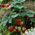 สตรอเบอรี่แรมบลิ้งแคสเคด - Rambling Cascade Strawberry (สายพันธุ์เลื้อย)