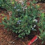 บลูเบอรี่พุ่มเตี้ย - Low Bush Blueberry