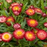 ดอกกระดาษสีชมพู - Pink Strawflower
