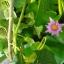 ต้นหม่อนทานผล (สายพันธุ์นำเข้า) - Mulberry thumbnail 7