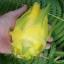 กิ่งแก้วมังกรอิสราเอลสีเหลือง - Hylocereus undatus thumbnail 1