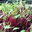 เมล็ดบีทรูท beetroot microgreen 6 กรัม thumbnail 1