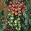 มะเขือเทศราพันเซล F1 - Rapunzel Tomato F1 thumbnail 1