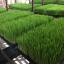 ต้นอ่อนข้าวสาลี ต้นอ่อนข้าวสาลีตัดสด Wheatgrass 1 Kg. thumbnail 14