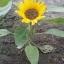 ทานตะวันอเมริกันต้นเตี้ย - Dwarf American Sunflower thumbnail 1