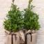 ต้นกระวาน - Bay leaf (Laurus nobilis) thumbnail 2