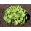 เมล็ดพันธุ์ผักสลัด กรีนโอ๊ค ( Green Oak ) แบบเมล็ดไม่เคลือบ thumbnail 1