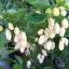 พริกฮาบาเนโร่สีขาว - White Habanero Pepper thumbnail 2