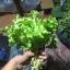 เมล็ดกรีนสลัดโบลว์ (Green Salad Bowl Lettuce) thumbnail 3