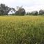 ข้าวไรซ์เบอรี่ (Organic Ricebrry) บรรจุ 1 กิโล thumbnail 4